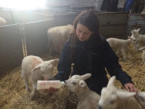 Bottle feeding lambs